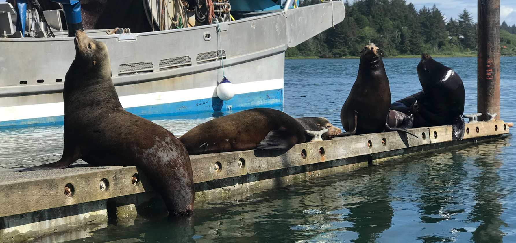 Sea lions on a dock